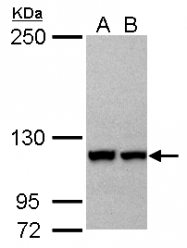 GTX114515 - Importin 5 / RANBP5