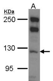GTX114558 - Myosin-Ib