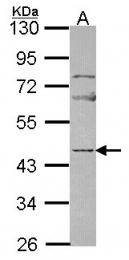 GTX114590 - Neuronal pentraxin-2