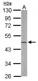 GTX114610 - PA2G4 / EBP1