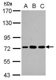 GTX114611 - PABPC3