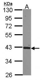 GTX114616 - PCBP2 / hnRNP-E2