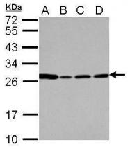 GTX114664 - Proteoglycan 2