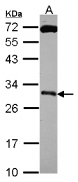 GTX114670 - KLK10 / Kallikrein-10