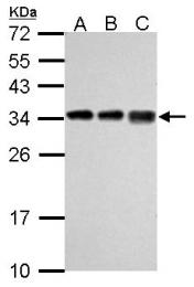 GTX114727 - RPL7A