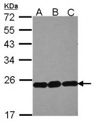 GTX114728 - RPL9