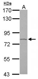 GTX114738 - SATB1