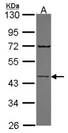 GTX114744 - Semenogelin-1 (SEMG1)