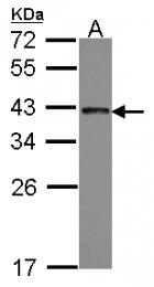 GTX114752 - TRA2B / SFRS10