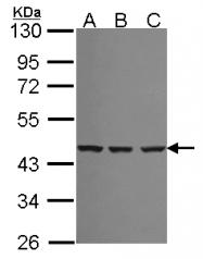 GTX114783 - Spermine synthase (SMS)