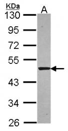 GTX114786 - Syntrophin-1 / SNTA1