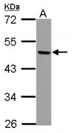 GTX114832 - AP-2 beta / TFAP2B