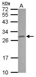 GTX114846 - Claudin-5 / CLDN5