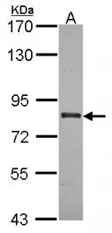 GTX114916 - ABCB7