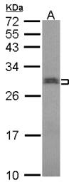 GTX114927 - snRNP-N / Sm-N