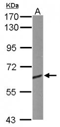 GTX114940 - CRMP1 / DPYSL1