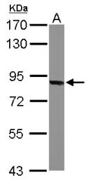 GTX114946 - Thimet oligopeptidase (THOP1)
