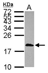 GTX114954 - Calmodulin-like protein 3