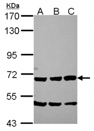 GTX115049 - Secretogranin-2 (SCG2)