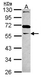 GTX115101 - GAS7
