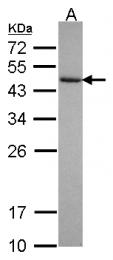 GTX115211 - Cytohesin 3