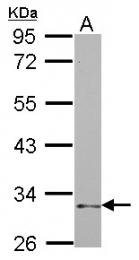 GTX115238 - CD335 / NKp46