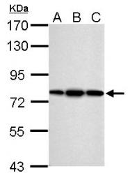 GTX115263 - PDIA4