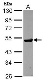 GTX115264 - Guanine deaminase