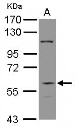 GTX115329 - DGCR2