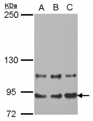 GTX115331 - MED16