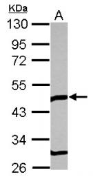 GTX115334 - TOM1L1