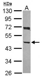 GTX115348 - Centractin alpha