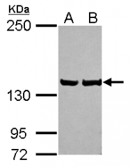 GTX115351 - LRPPRC / LRP130