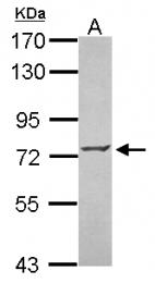 GTX115372 - ZNF443