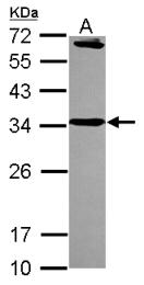 GTX115375 - Syntaxin 6 / STX6