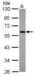 GTX115378 - CALCOCO2