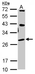 GTX115389 - SIGMAR1 / OPRS1