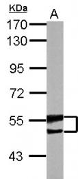 GTX115421 - BAIAP2