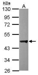 GTX115435 - Dynactin subunit 2