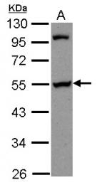 GTX115446 - PAIP1