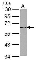 GTX115462 - SAM68 / KHDRBS1