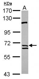 GTX115472 - Calpain-9