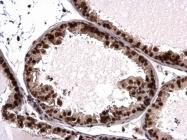 GTX115549 - Histone H3.3