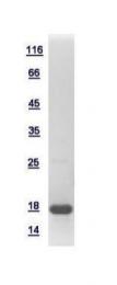 GTX115549-pro - Histone H3.3