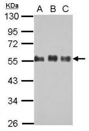 GTX115586 - CDC42EP1