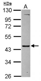 GTX115731 - MKRN2 / RNF62