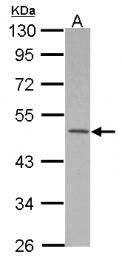 GTX115732 - MKRN2 / RNF62