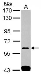 GTX115734 - SH3BP1