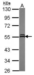 GTX115852 - VPS4A