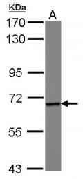 GTX115900 - Epsin-1
